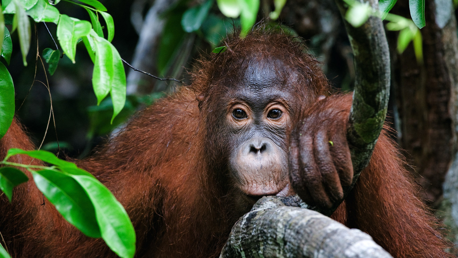 Custom Travel Planner Network-Orangutans