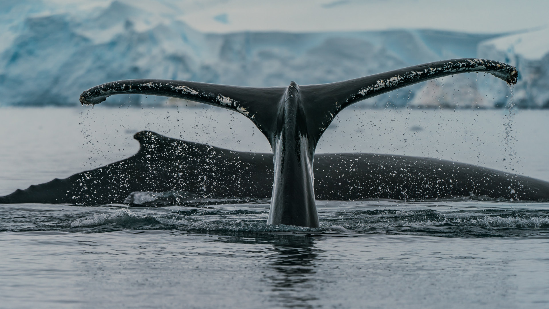 Custom Travel Planner Network-Antarctica-Humpback Whales